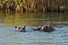 Two hippos swimming in Zambezi river. Victoria Falls, Zimbabwe Africa. stock photos