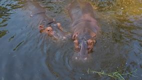 Two hippos in the water, Chiang Mai, Thailand. Two hippos in the water. Zoo of Chiang Mai, Thailand stock footage