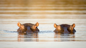 Two hippos in the water Royalty Free Stock Photo