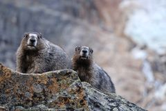 Two hoary marmots against glacier. Stock Images