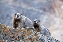 Two Hoary Marmots in mountains. Royalty Free Stock Photo