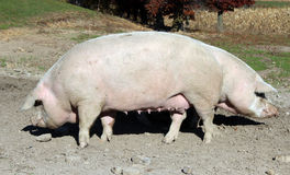 Two hogs on a country farm. Two pig hogs on a pasture of a country farm Stock Images