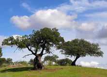 Two holm oaks trees. Under sky with clouds stock photo