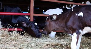 Two holstein calves nose to nose royalty free stock images