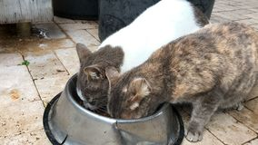 Two home cats sharing pet food from bowl and looking at camera stock video