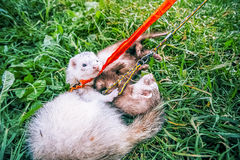 Two home ferrets on leash play in green grass royalty free stock image