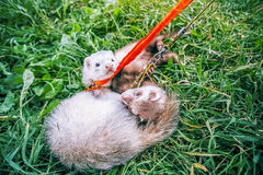 Two home raccoons on leash play in green grass Stock Photo