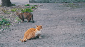 Two Homeless Cats on the Street. Two homeless gray and red cat sitting on the asphalt in the park stock video footage