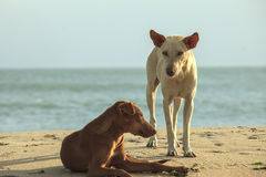 Two homeless dogs on the beach Stock Photography