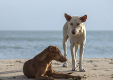 Two homeless dogs on the beach Stock Photos