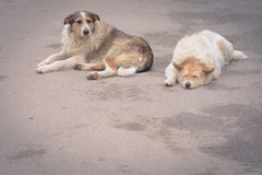 Two homeless dogs. Lie on the pavement Royalty Free Stock Images