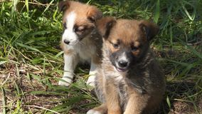Two homeless puppies in the grass. Stray animals stock video footage
