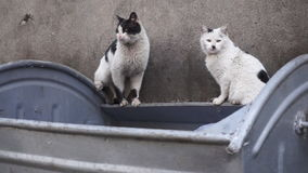 Two homeless stray cats standing on dirty container - Closeup. Two homeless, dirty, stray cats with shabby furs stock video footage