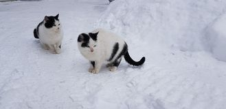 Two homeless white with black cats. In the snow royalty free stock photos