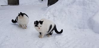 Two homeless white with black cats. In the snow stock image