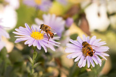 Two Honey bees on blue New York aster Royalty Free Stock Images