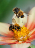 Two honey bees on dahlia flower royalty free stock photos