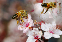 Two honey bees in flight and in focus Royalty Free Stock Image