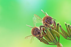 Two honey bees Royalty Free Stock Photo