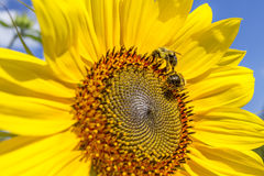 Two honey bees on sunflower Royalty Free Stock Photos