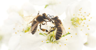 Two Honeybees And White Flowers