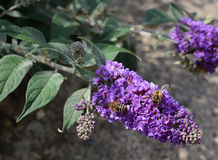 Two honeybees on purple buddleia flowers Royalty Free Stock Photos