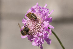 Two Honeybees on Scabious Pink Mist Stock Photography
