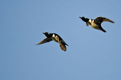 Two Hooded Merganser Ducks Flying in a Blue Sky Royalty Free Stock Photos
