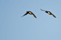 Two Hooded Merganser Ducks Flying in a Blue Sky Stock Photo