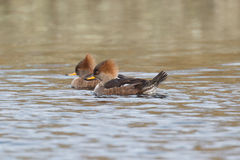 Two Hooded Mergansers Stock Images
