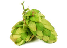 Two hops on white Royalty Free Stock Images