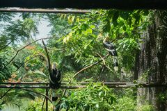 Two hornbills in cage in zoo. Two hornbills in cage in tropical zoo stock images