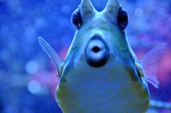 Two Horned Cow Fish Stock Photo