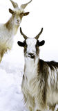 Two horned goats. Two funny horned and spotted goats looking with interest on a background of snow royalty free stock images