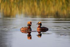 Two Horned grebes in the lake