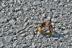 Two hornets fight. In the sun on the road royalty free stock images