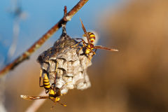 Two hornetsbuild nest. Royalty Free Stock Image