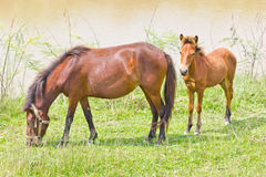 Two horse Stock Photography