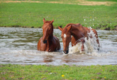 Two horse  bath in a lake Royalty Free Stock Photos