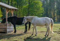 Two horse , black and white, on the pasture royalty free stock image