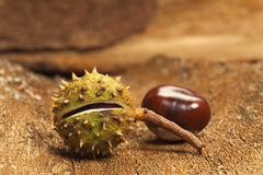 Two Horse chestnuts Royalty Free Stock Images