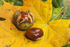 Two Horse chestnuts on foliage. Some Horse chestnuts on colorful foliage leaves as close up view royalty free stock images