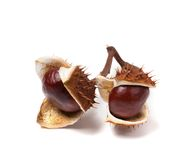 Two horse chestnuts inside dry peel Stock Photography