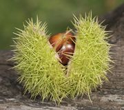 Two horse chestnuts Stock Photo