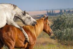 Two horse coupling Stock Photos