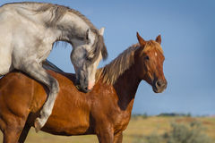 Two horse coupling Royalty Free Stock Photography
