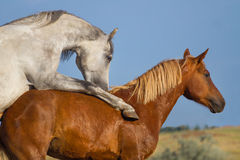 Two horse coupling Stock Image