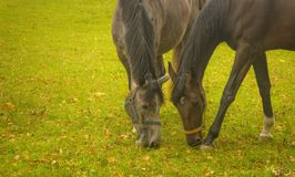 Two horse eating. Grass on an autumn day Stock Image