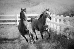 Two Horse in field galloping together stock image