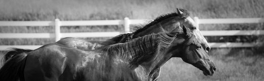 Two Horse in field trotting together Royalty Free Stock Photography